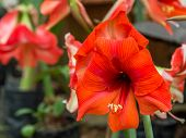 Flowering Day Lily Flowers (hemerocallis Flower). Perfect Image For Close Up Of Daylily Red Flower D poster