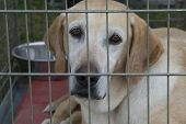 image of sad dog  - A yellow lab in an outdoor cage gazes forlornly - JPG