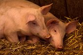 Two Young Pigs Are In Sty On Hay, Pig Breeding Swine Breeding Concept. poster
