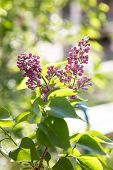 Lilac Violet In The Setting Sun. Purple Lilacs In The Rays Of The Setting Sun poster