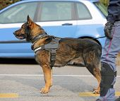 Dog Canine Unit Of The Police With Cop To The Detection Of Explosive Material During A Counterterror poster