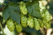 stock photo of bine  - hop cones  - JPG