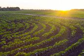 Field With Young Sprouts Of Sunflower In The Rays Of The Setting Sun. Sunset Over An Agricultural Fi poster