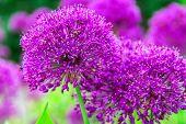 Onion Genus Allium Flowering Plants In Garden. Globe-like Flower-heads Vibrant Purple Flower In Full poster