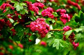 Summer Flower Landscape. Closeup Of Summer Hawthorn Tree Pink Flowers, In Latin Crataegus Laevigata. poster