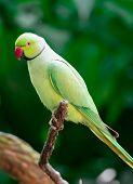 A Rose-ringed Parakeet, Psittacula Krameri, Also Known As Ring-necked Parakeet poster