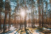 Beautiful Sunset Sun Sunshine In Sunny Early Spring Coniferous Forest. Sunlight Sun Rays Shine Throu poster