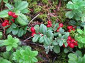Lingonberries Growing Wild In Boreal Forest, Close Up. Evergreen Shrub With Red Edible Fruit Or Berr poster