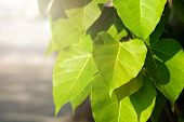 Green Leaf Pho Leaf, (bo Leaf, Bothi Leaf) With Sunlight In Nature. Bo Tree Representing Buddhism In poster