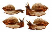 Achatina Reticulata Black-headed Snail Four Different Species On A White Background, A Huge Large Af poster