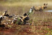 The African Wild Dog (lycaon Pictus), Also Known As African Hunting Or  African Painted Dog, Painted poster