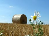 Flower And Roll Of The Hay