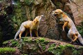 The Red Fox (vulpes Vulpes), Two Cubs Playing. Two Young Foxes Fighting For Food On A Rocky Ledge. poster