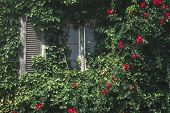 Window Surrounded By Green Ivy And Wild Red Roses, On Sunny Day. Ecological House Facade. Vertical G poster