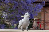 Sulphur-crested Cockatoo Seating On A Fence With Beautiful Blooming Jacaranda Tree Background. Austr poster