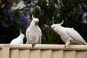 Sulphur-crested Cockatoos Seating On A Fence Eating Bread. Urban Wildlife. Australian Backyard Visit poster