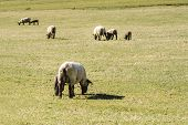 Sheep Walk In The Meadow On A Spring Day. Animals In Nature. poster