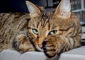 Cat Face With A M On The Forehead. Feline Face With Green Eyes, Close-up. European Shorthair Cat Lie poster