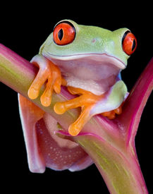 stock photo of red eye tree frog  - A baby red - JPG