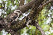 foto of kookaburra  - kookaburra bird on a tree in Australia - JPG