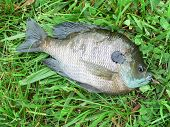 stock photo of bluegill  - I caught this little bluegill in a friends lake - JPG