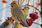 stock photo of rowan berry  - A young birds Waxwings  - JPG