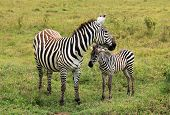 pic of foal  - Plains Zebra  - JPG