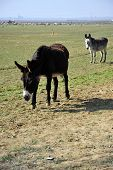 stock photo of jack-ass  - Donkeys are part of the animal population on this California farm - JPG