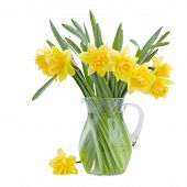 stock photo of day-lilies  - bouquet of blooming daffodils in vase isolated on white background - JPG