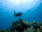 Постер, плакат: Дайвер спускаются на Остров Кайман риф
