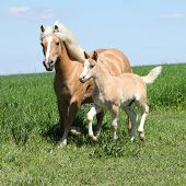 stock photo of fillies  - Beautiful haflinger mare with a foal on pasturage - JPG