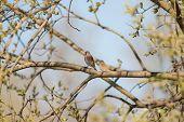 Постер, плакат: Коноплянка птица поет песню весны