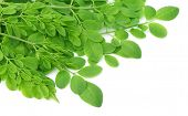 image of moringa oleifera  - Clsoe up of edible moringa leaves over white background - JPG