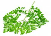 picture of malunggay  - Edible moringa leaves close up over white background - JPG
