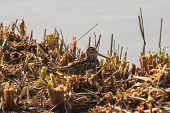 stock photo of snipe  - Snipe hiding on a reed bed scrape - JPG