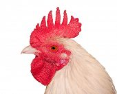 pic of banty  - Closeup of a white rooster - JPG