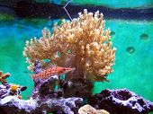 foto of hawkfish  - A picture of My Long nosed hawkfish from my personal Saltwater reef tank - JPG
