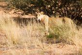 image of semi-arid  - Old Kgalagadi lioness walking alone in the desert  - JPG