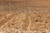 pic of cassava  - cassava or manioc plant field in Thailand - JPG