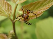 stock photo of plunder  - Small spider standing on leaf in forest - JPG