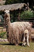 stock photo of alpaca  - Close up view at Suri alpaca at sunny day - JPG