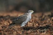foto of goshawk  - Photo of northern goshawk standing on the ground - JPG