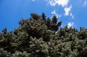 foto of blue spruce  - Crone of the Colorado blue spruce against the blue sky background - JPG