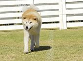 foto of akita-inu  - A portrait view of a young beautiful white and red Akita Inu dog walking on the grass. Japanese Akita dogs are distinctive for their oriental look and for being courageous.