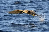 picture of fish-eagle  - White - JPG