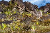picture of tillandsia  - A very rare endemic plants on the plateau of Roraima  - JPG