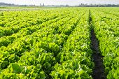 image of endive  - Large field with long rows of Endive or Cichorium endivia plants in autumnal sunlight - JPG