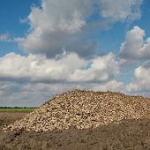 foto of sugar industry  - Agriculture autumn time sugar beet root harvesting in field - JPG