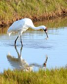 picture of blue crab  - Whooping Crane Standing in Bay Eating a Crab with Reflection - JPG