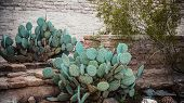 stock photo of prickly-pear  - Prickly pear cacti growing by a stone garden wall in Arizona - JPG